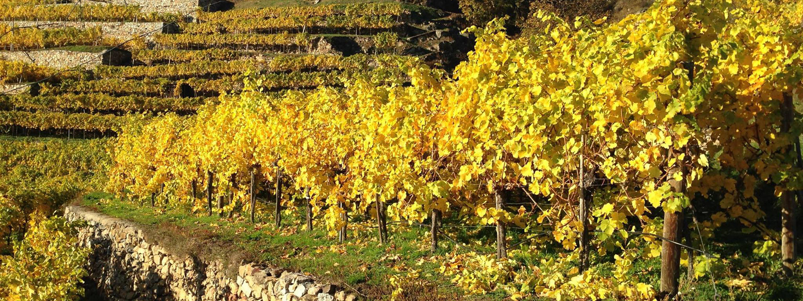 Weingarten im Herbst / vineyard in autumn @ Peter Schneider